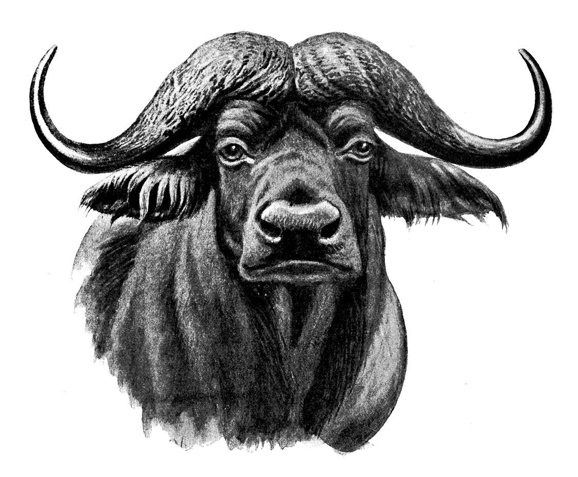 African-Cape-Buffalo