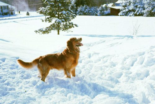 A golden retriever standing in a snowy field with a pine tree in the background