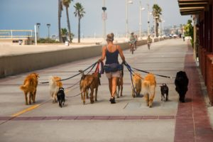 woman-walking-a-crowd-of-dogs