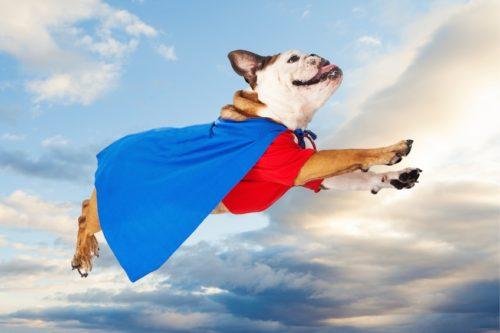 bulldog-in-cape-actionable-shot