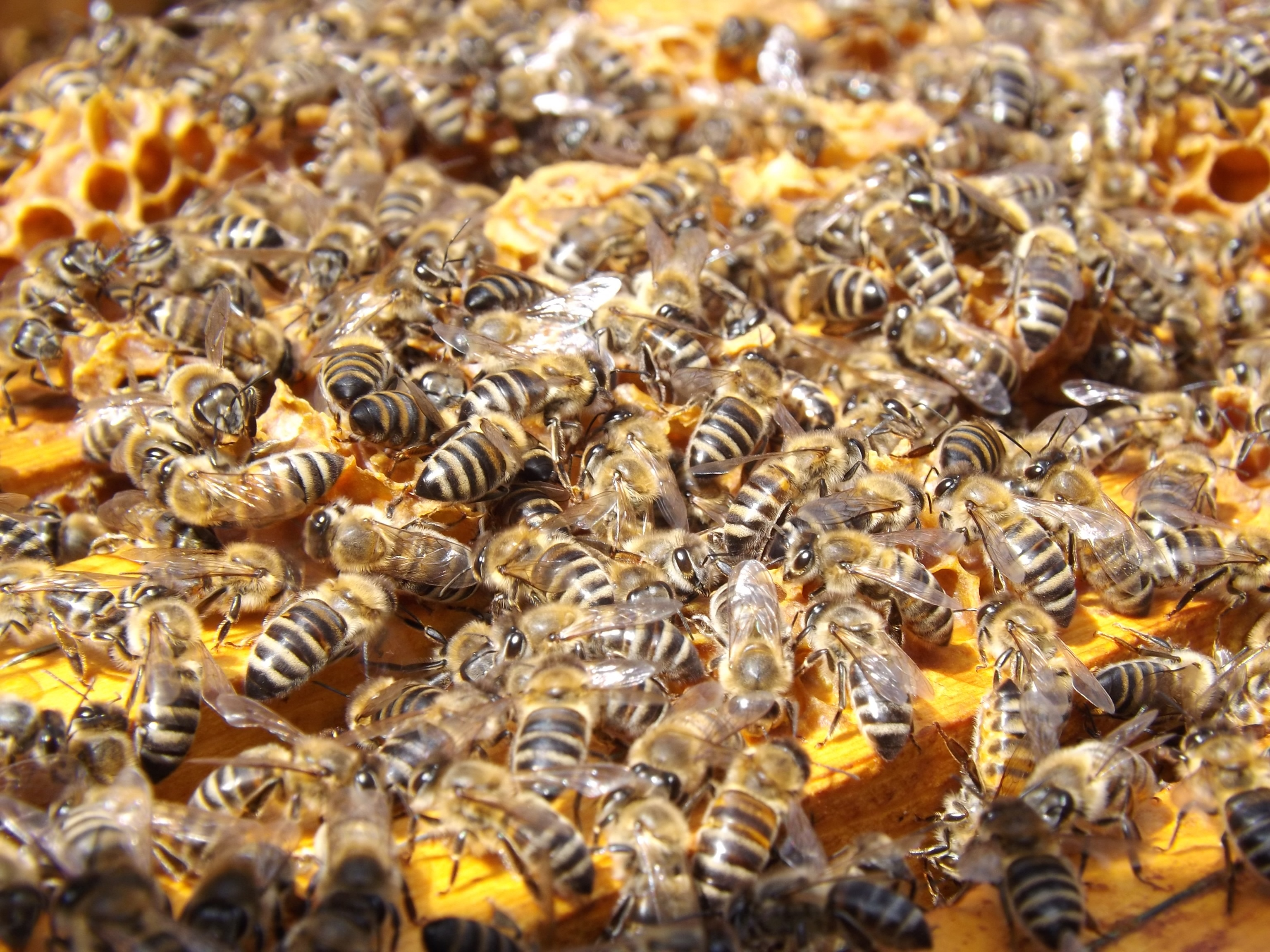 Cluster-of-busy-bees-on-honeycomb.jpeg