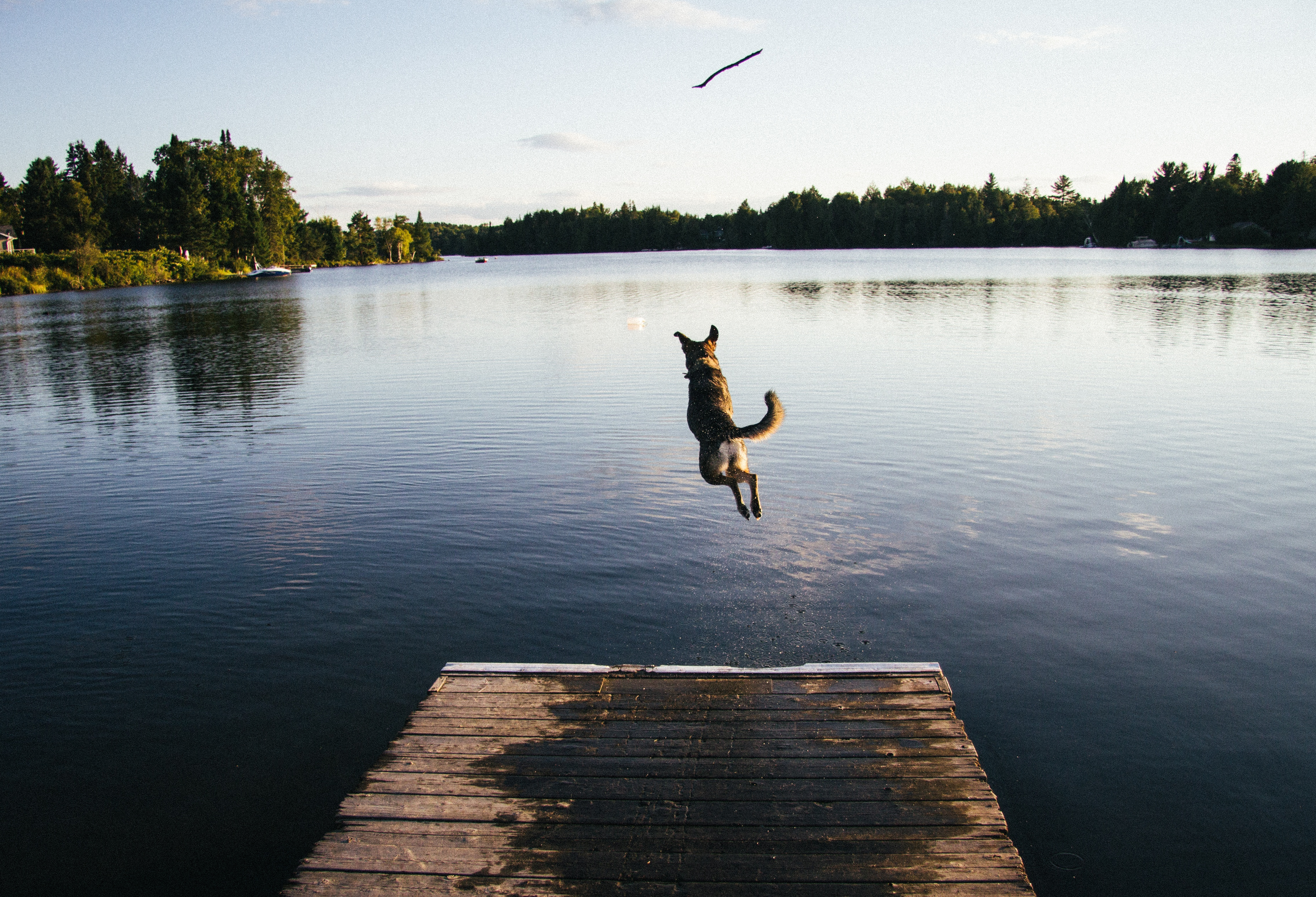 dog-jumping-off-dock-with-no-more-questions-about-what-its-like-being-a-writer-for-Verblio