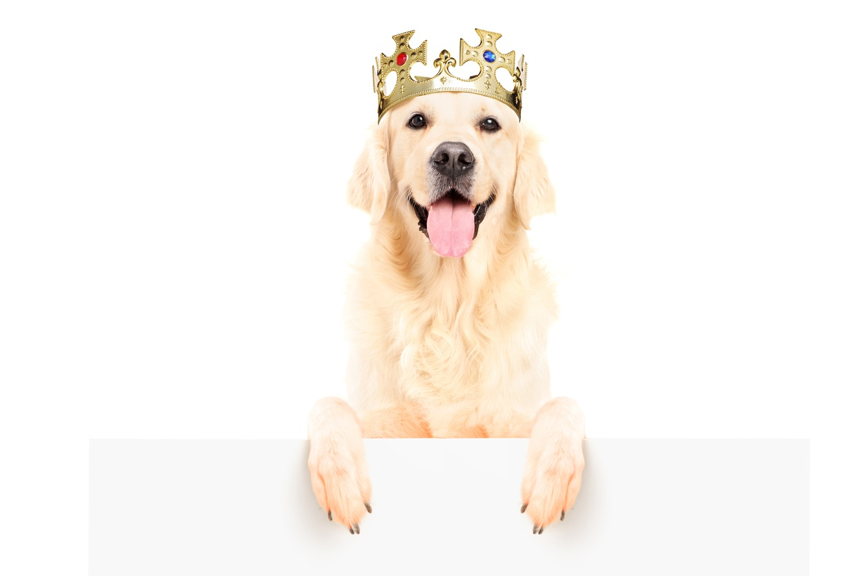 yellow-lab-in-crown-content-is-king.jpg
