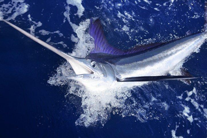 marlin-water-hunting