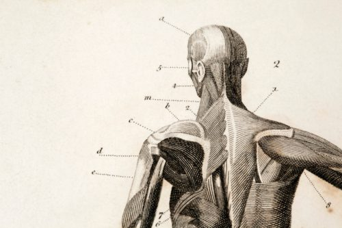 pencil anatomy drawing of the human muscular system with label lines leading to major muscle groups.