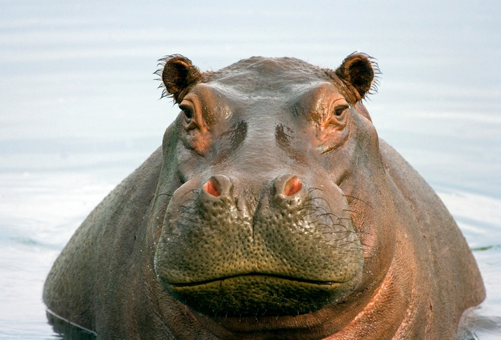 hippo-water-animal