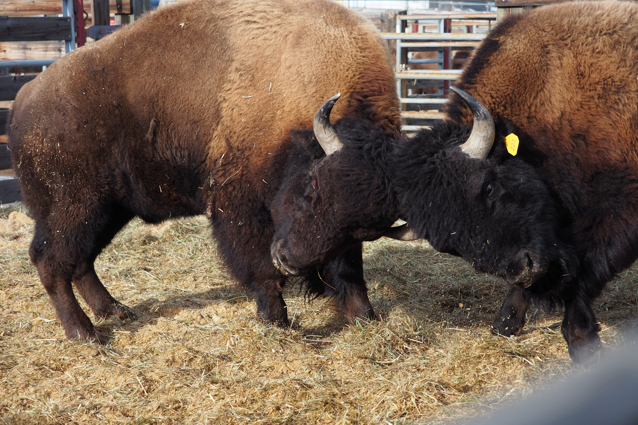 2-bison-butting-heads-and-fighting