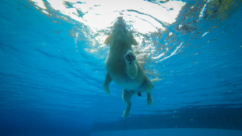 Golden Retriever Puppy Exercises in Swimming Pool (Underwater View)