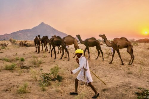 A camel herder dressed in traditional Rajasthani clothing, including a turban, is walking quickly, directing his camels to walk toward a mountain in the background,