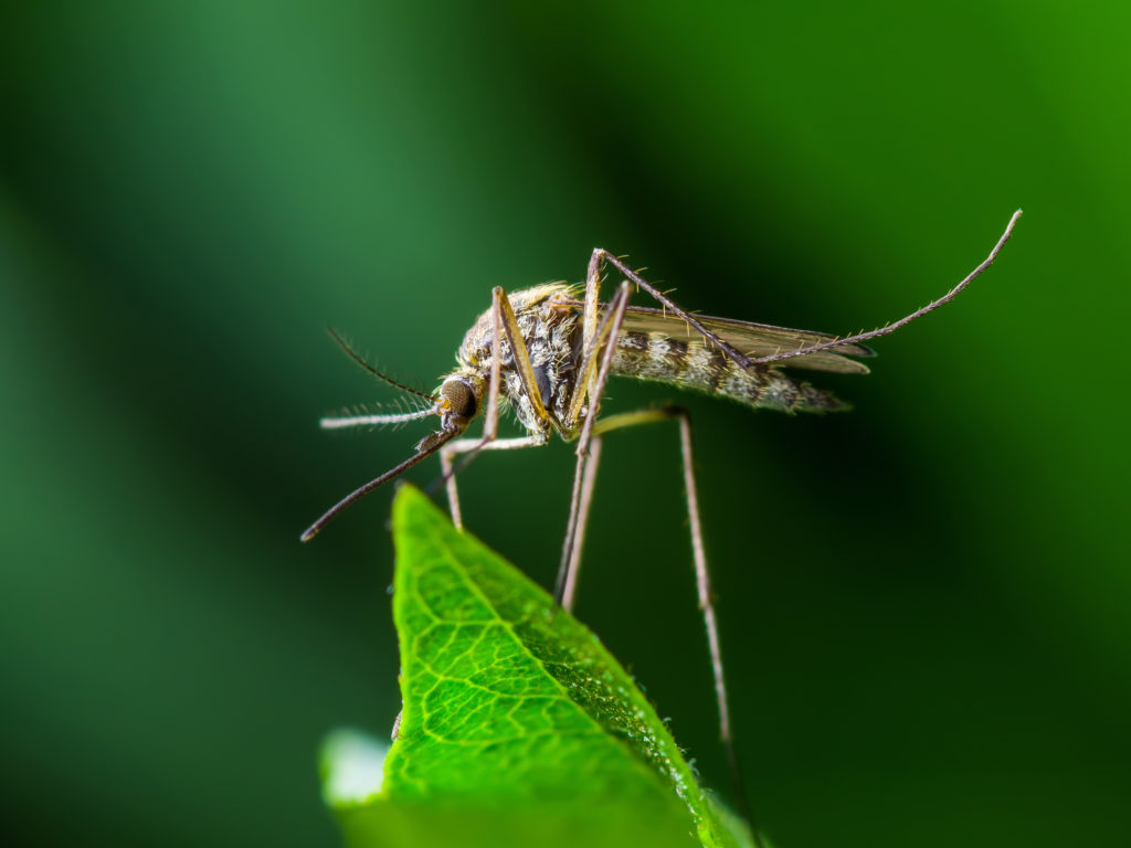 Yellow Fever, Malaria or Zika Virus Infection - Mosquito Insect on Leaf