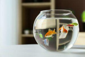 pet fish in a fishbowl